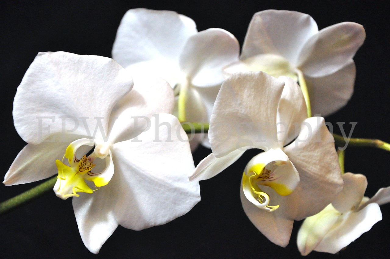 Ode to Orchids
