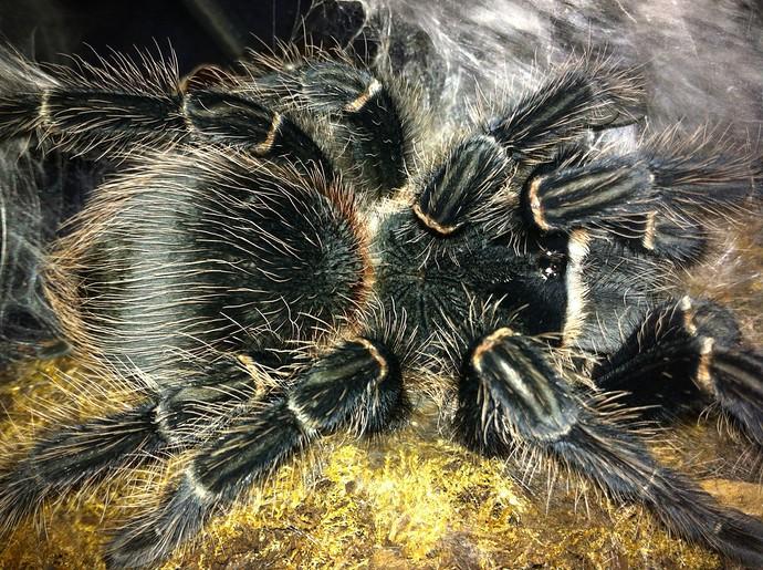 traveling with tarantula