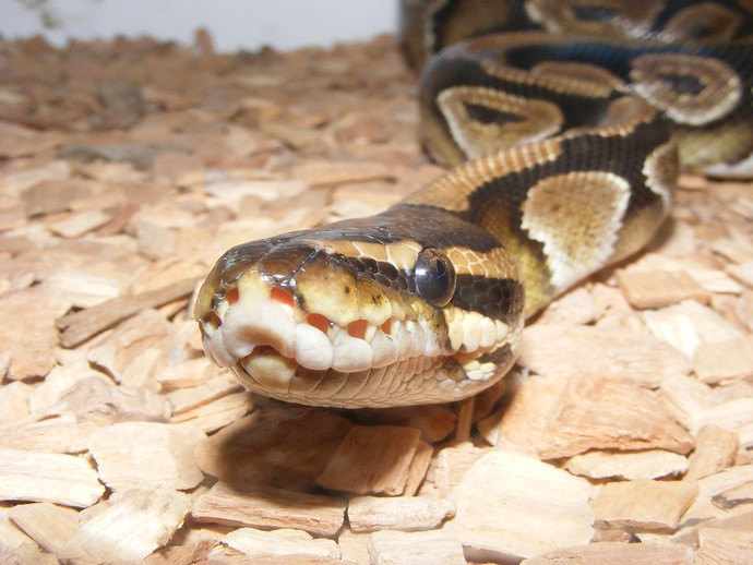 ball python travel