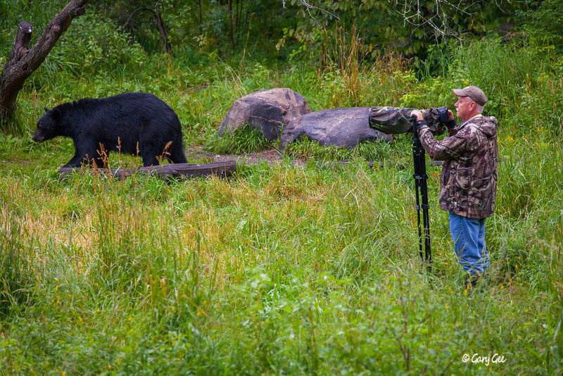 Photographing Black Bears in the wild of Northern Minnesota