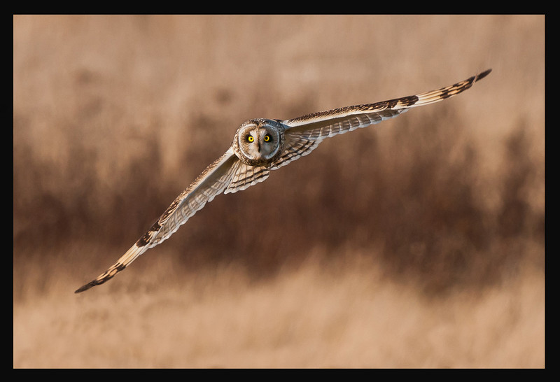 Short-eared Owl HP