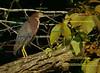 a secretive green heron in a photogenic mood