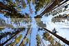 Lodge Pole Pines by Lewis Lake