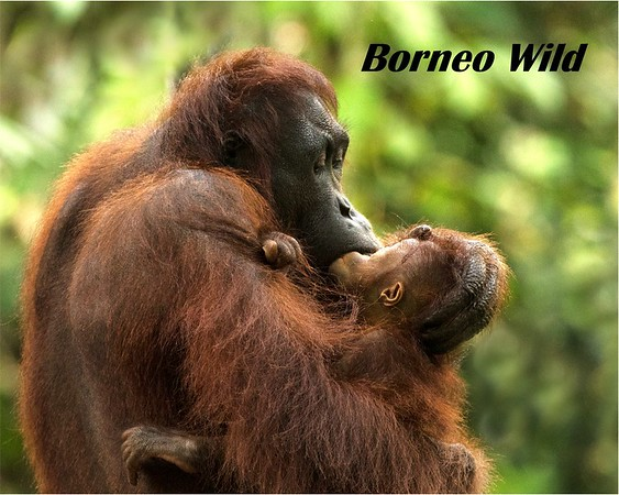 BORNEO WILD - BLURB COVER FOR   WEBSITE (1)