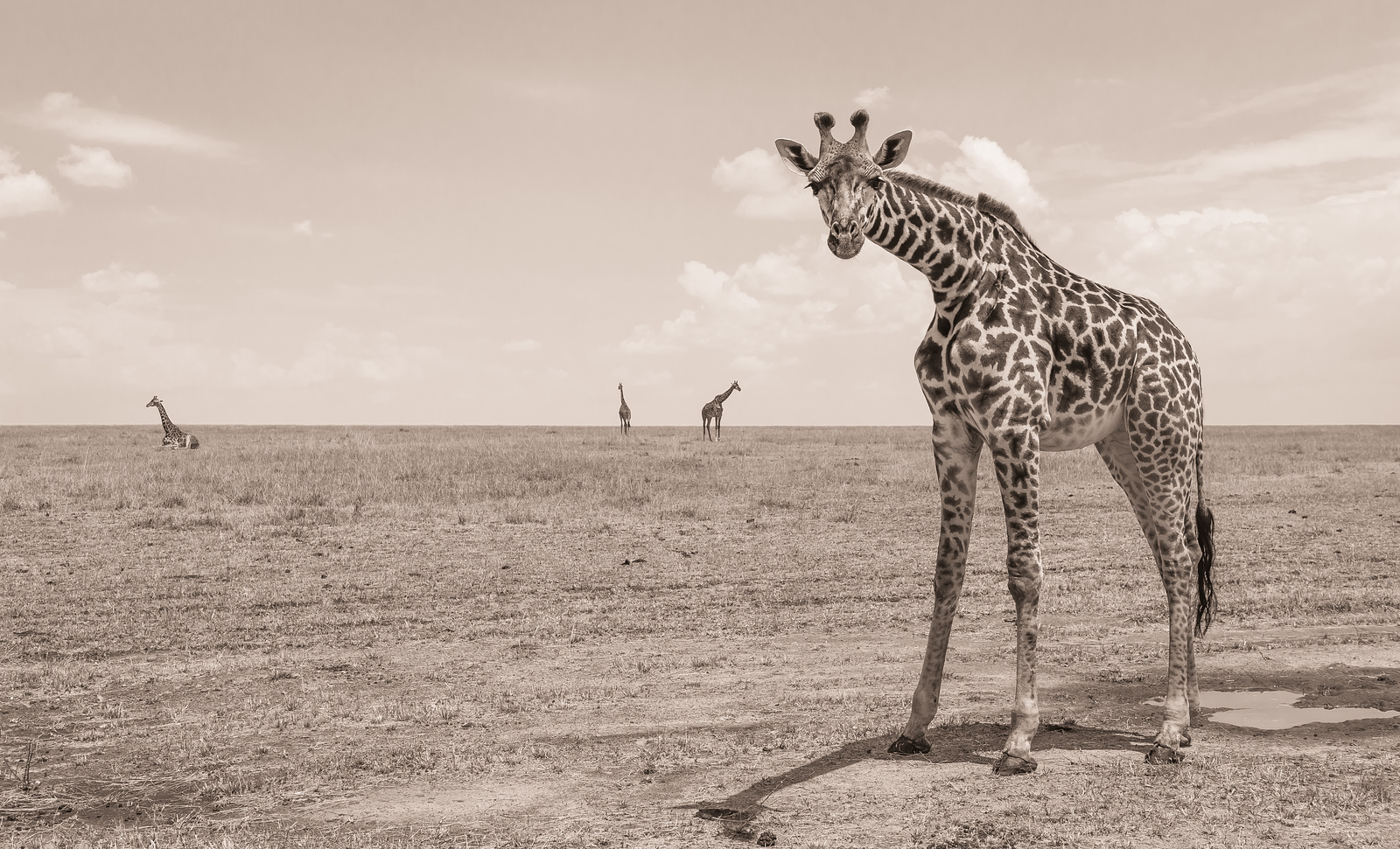 Giraffe intrigue