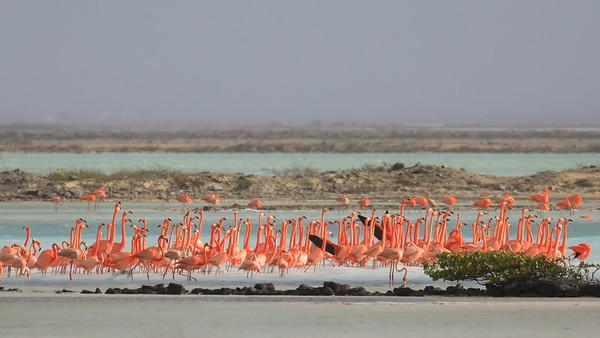 Flamingos Pekelmeer 14-Jun-2018