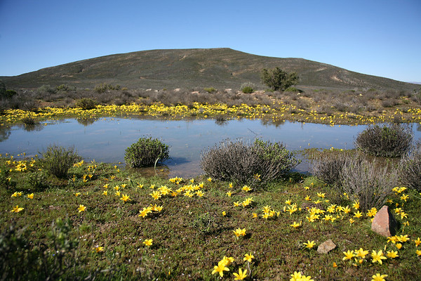 The yellow frutang, Romulea flava, a bulb which flowers during winter and spring, and which occur in the fynbos and renosterveld areas of the Western Cape