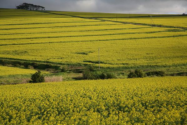 Canola fields in bloom near Durbanville, Western Cape, South Africa