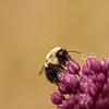 Bumble bee on an onion flower.  Colonial Parkway, Yorktown, VA.  © Robert B. Clontz