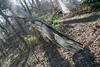 20080211 Tulip Poplar, struck by lightning June 11 2006 that was felled by wind yesterday (5 of 10)