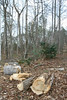 20080212 Tulip Poplar, partially cut down yesterday (2 of 3)