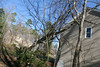20080211 Tulip Poplar, struck by lightning June 11 2006 that was felled by wind yesterday (8 of 10)