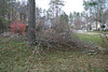 20080212 Tulip Poplar, partially cut down yesterday (1 of 3)