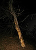 20080210 Tulip Poplar, struck by lightning few hours earlier nt