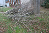 20080212 Tulip Poplar, partially cut down yesterday (3 of 3)