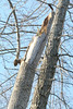 20080211 Tulip Poplar, struck by lightning June 11 2006 that was felled by wind yesterday (7 of 10)