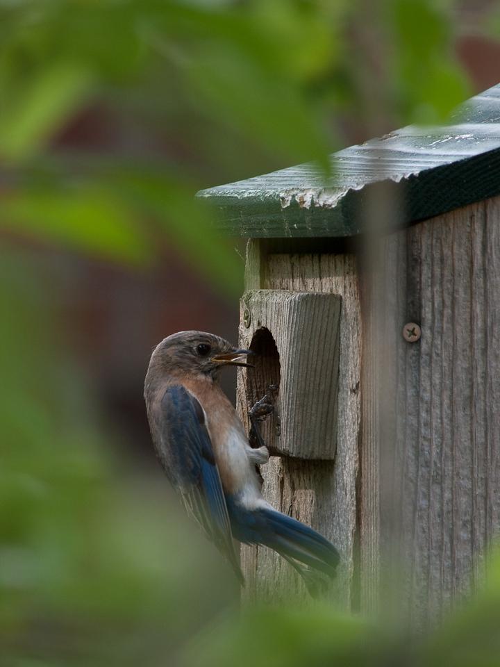 Backyard Blue Birds