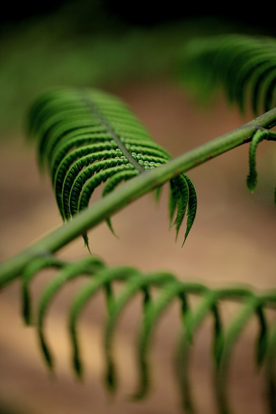 Tree fern leaves, Alberto Manuel Brenes Biological Reserve, Costa Rica