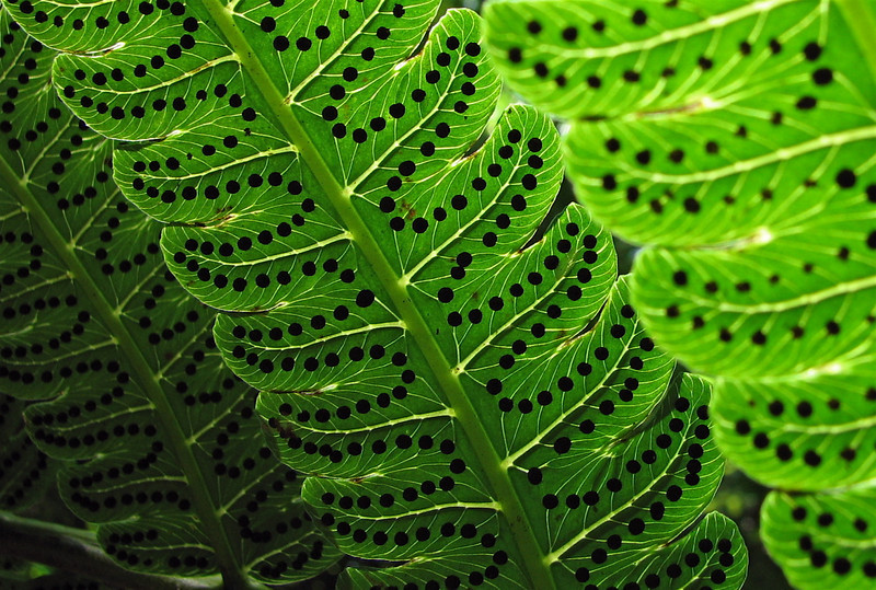 Spores on the underside of a fern leaf in the forest at Campanario, Osa Peninsula, Costa Rica.
