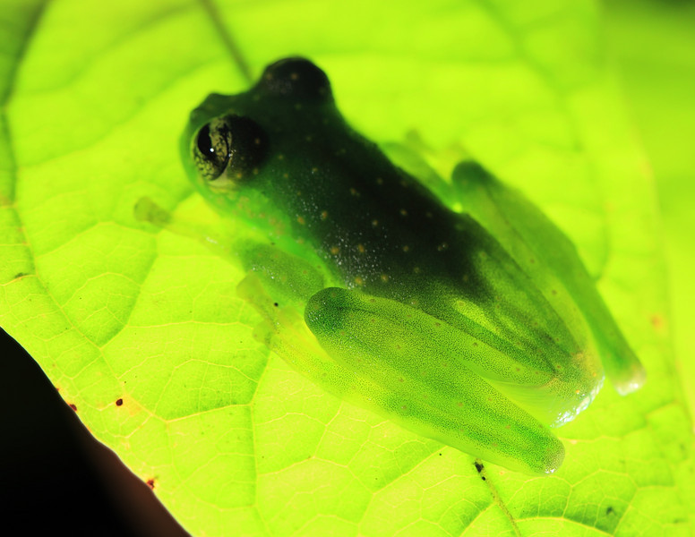 Glass frog (Cochranella albomaculata) perched on a leaf overhanging a stream at Campanario, Osa Peninsula, Costa Rica.  Here it is lit from below with a flashlight.  The transparency of glass frogs gives them their name, and in this shot you can see the green color of the leg bones, one of the traits used to identify this species.  It is a bit unusual to find bone color listed in taxonomic keys!