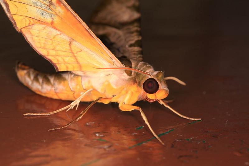 Sphinx moth (Sphingidae)