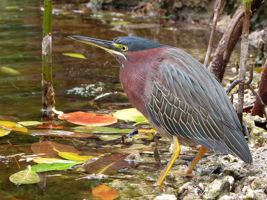 Green heron, Key Largo, Florida