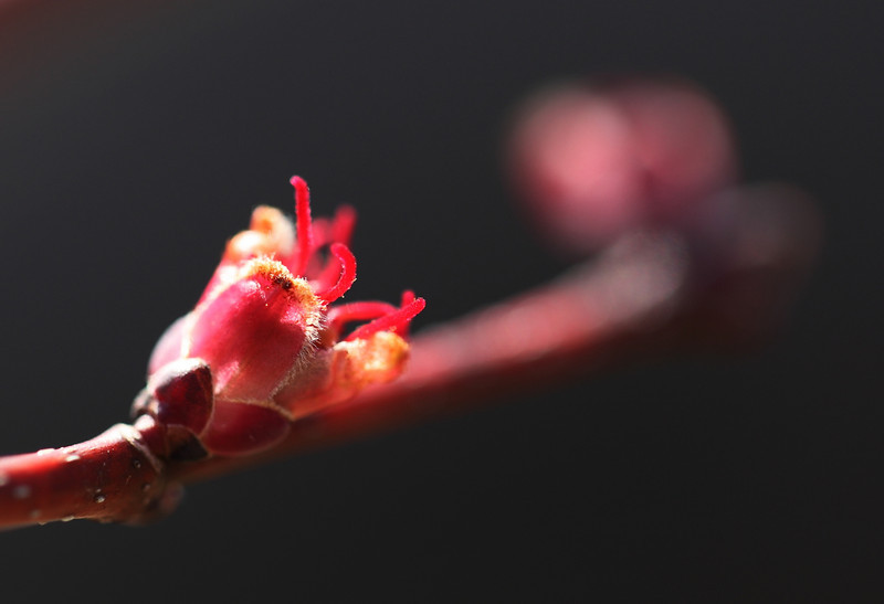 Red maple blossom
