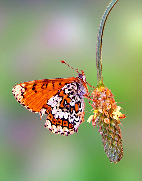 Glanville fritillary butterfly on its host plant, Plantago lanceolata. This photo was taken indoors under controlled conditions using a lab-reared insect.