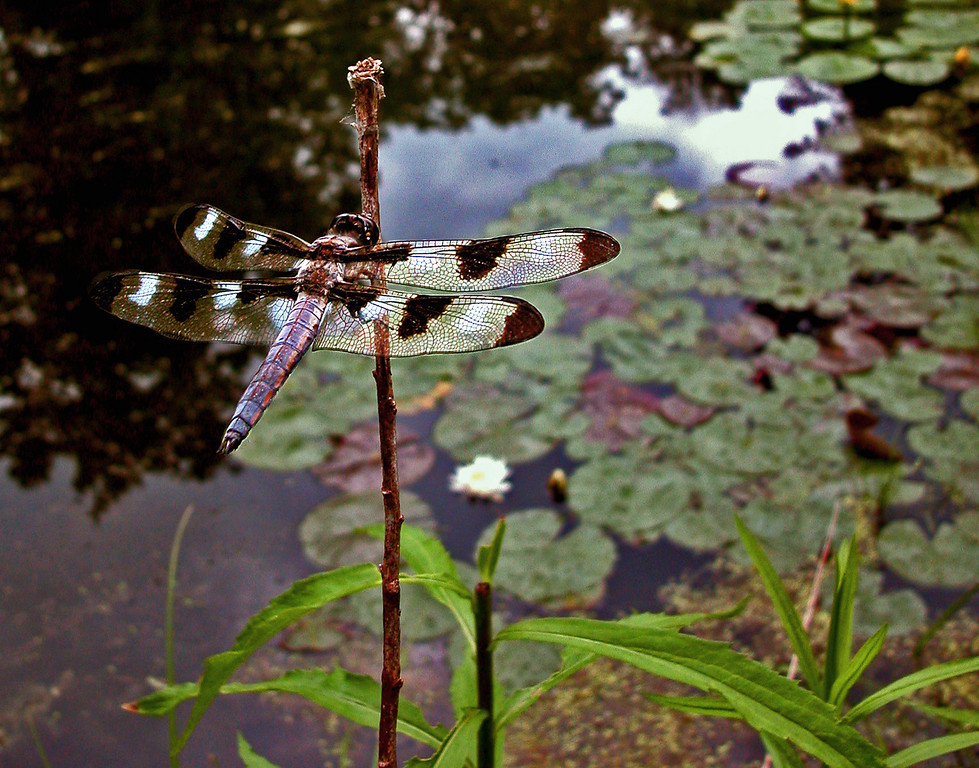 Mature male twelve spot skimmer dragonfly (Libellula pulchella) perched on his territory along the edge of a pond. I studied this species for about a decade.