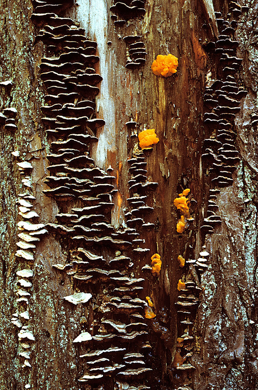 Fungi on a tree trunk, Nature Conservancy Bear Swamp Preserve, near the Alcove Reservoir, NY