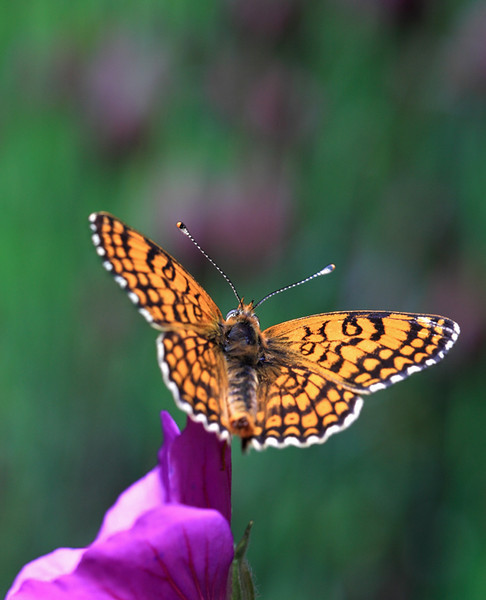 Glanville fritillary butterfly on a primrose flower.  This photo was taken indoors under controlled conditions using a lab-reared insect.