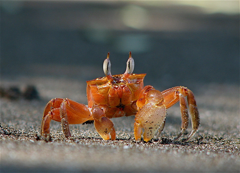 Ghost crab (Ocypode gaudichaudi) on the beach at Campanario, Osa Peninsula, Costa Rica