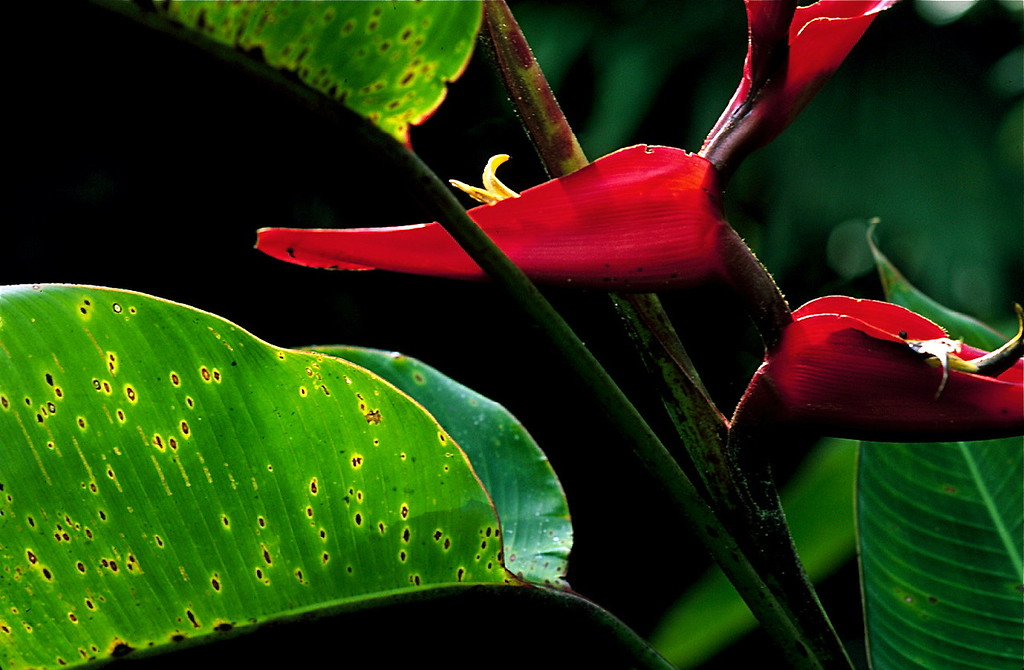 Heliconia tortuosa flowers and leaves, Las Cruces Biological Station, Costa Rica.
