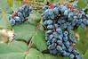 Concord grapes at Zilker Botanical Garden