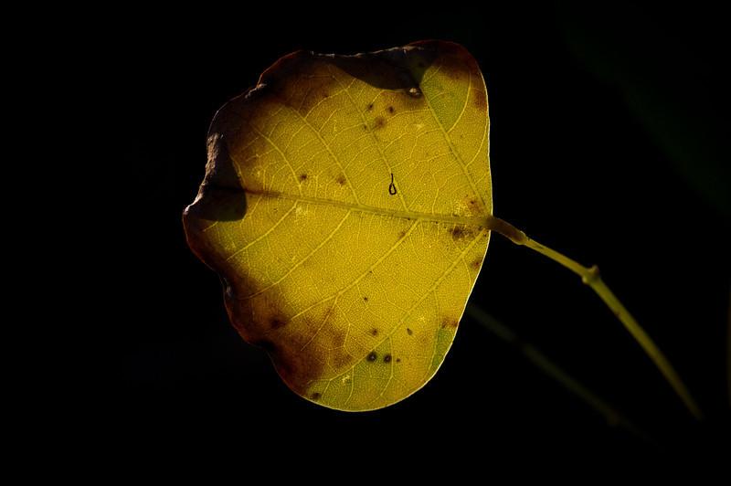 17Dec10- Bent glowing leaf.<br /> SMCP-DFA 100mm WR f/2.8