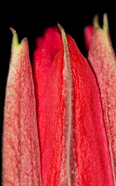 19Feb11 - Closed passion flower.<br /> Cosina Voigtlander 180mm f/4