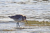 Lappspove<br /> <br /> Bar-tailed godwit