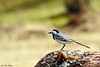 Linerle<br /> <br /> Wagtail