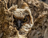 Great Horned Owl Nestling