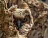 Great Horned Owl Nestling