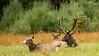 Pennsylvania's First Recorded Piebald Elk