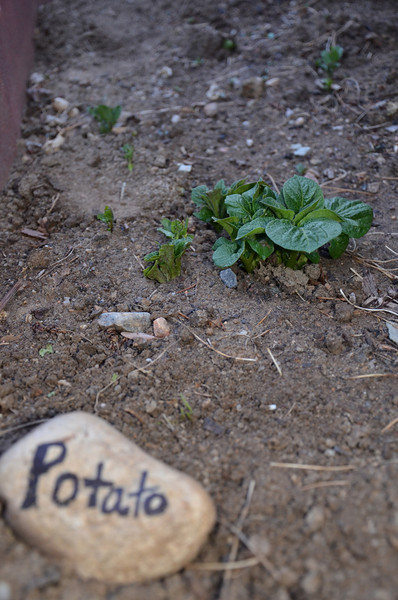 Very first potato plant coming up in the yard