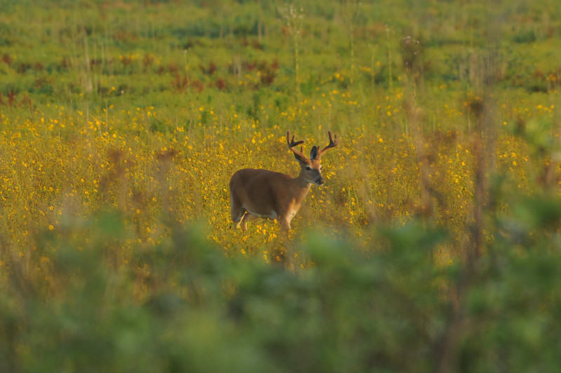 Deer in golden field