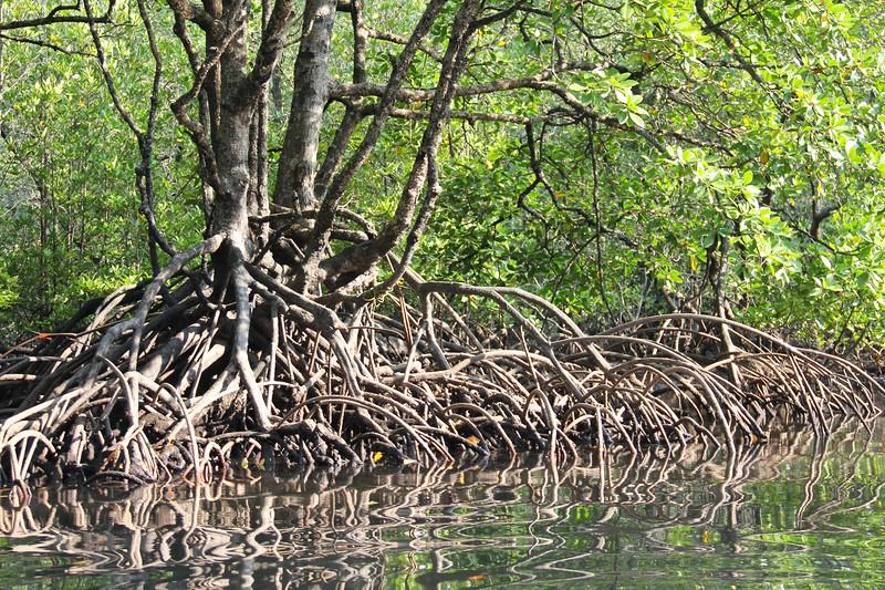 Mangroves. Mergui Archipelago