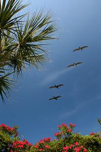 Pelicans.