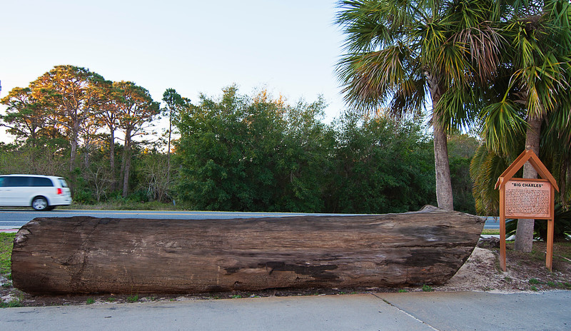 Recovered 19th century cypress log that must be worth well into five figures is preserved in Eastpoint, FL in front of a furniture store.<br /> <br /> On the left side you can see the impress of the chain that was used to pull it out of the mud where it had been submerged below the chain marks since it fell off the float sometime in the 1870s.
