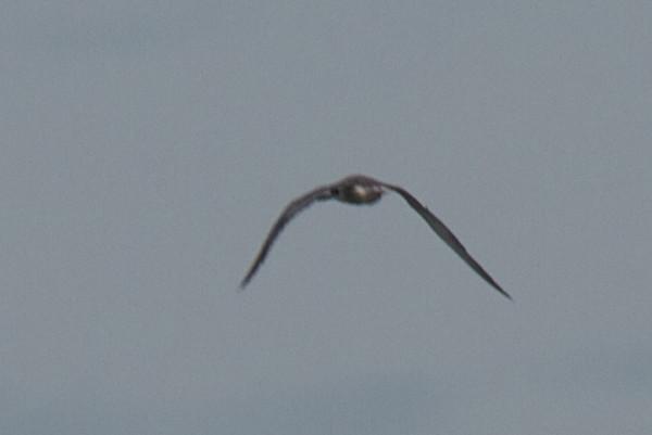 Mystery Tern