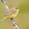 Palm Warbler<br /> <br /> October 14th, 2013