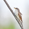 Yellow-billed cuckoo<br /> <br /> October 14th, 2013
