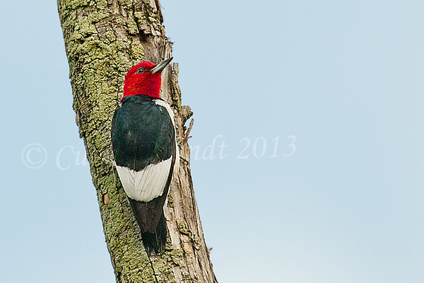 Red-headed Woodpecker<br /> <br /> October 14th, 2013